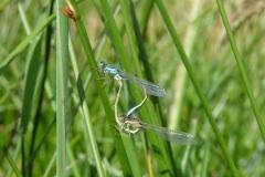 Accouplement de libellules sur le coin nature