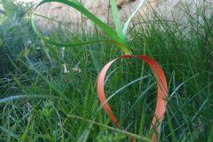 Une-carotte-précoce_Photo-prise-par-Nivu-Niconnu