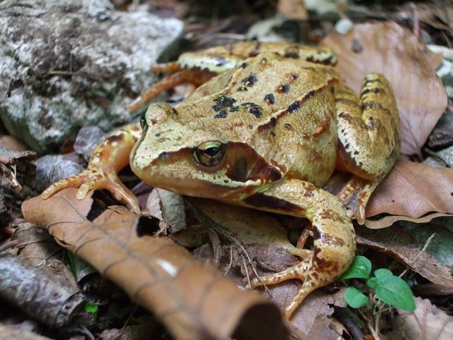 Écrasement d'amphibiens : vigilance !